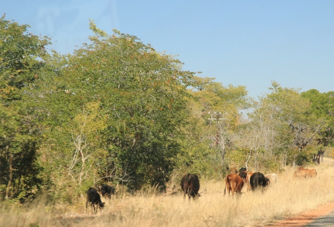 I rhought for a while we were driving around in Limpopo, so much the same ...