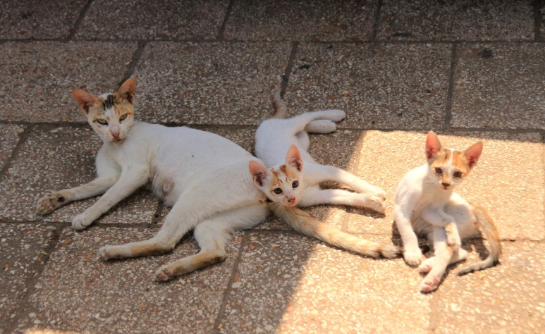 A ginger and white mom and her two kittens enjoying the early morning sun