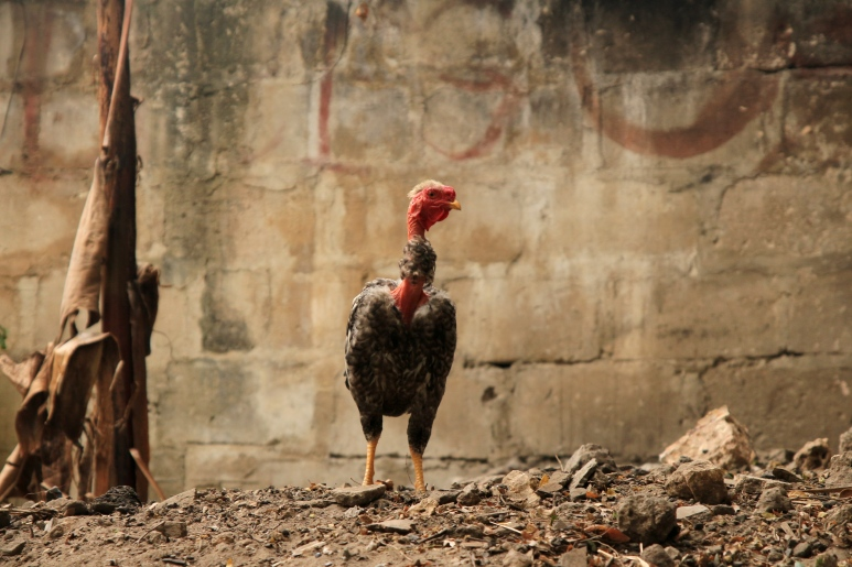 Some roosters might think they are the king of their own dung heaps ...