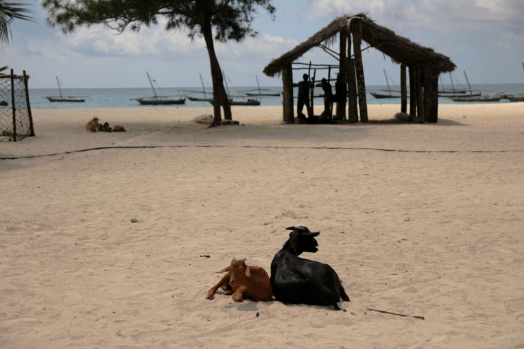 Goats on the beach