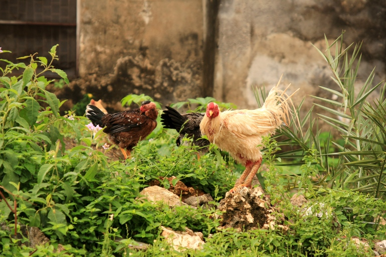 In total harmony the cats and chickens live together on these dirt heaps waiting for food to come past them ..