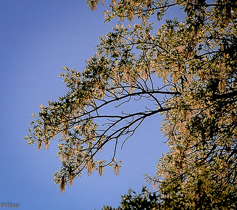 Silver threads and golden leaves ...