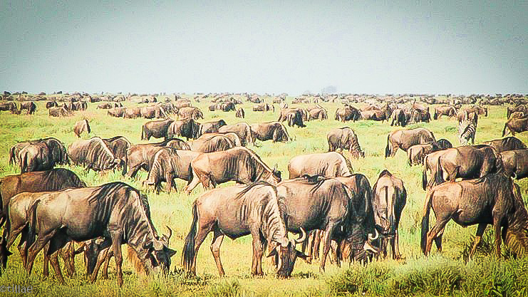 The smell of the wildebeest in the veld ...